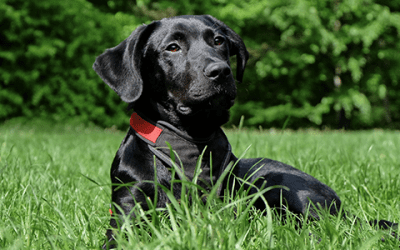 Ontdek het karakter van de Labrador