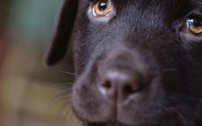 Soorten en kruisingen van de Labrador